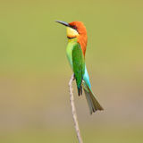 食蜂鸟鸟 库存图片