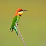 食蜂鸟鸟 库存照片