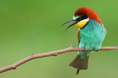 食蜂鸟 库存图片