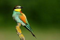 食蜂鸟 免版税库存图片