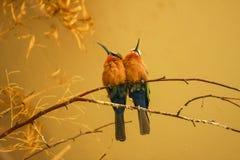 食蜂鸟 免版税库存照片