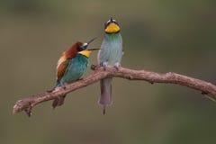 食蜂鸟 图库摄影