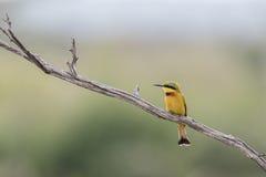 食蜂鸟 免版税图库摄影