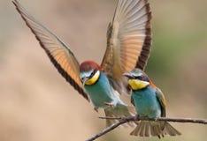 食蜂鸟 库存照片