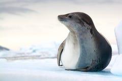 食蟹动物封印,南极洲 免版税库存图片