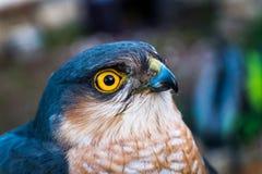食雀鹰画象  库存照片