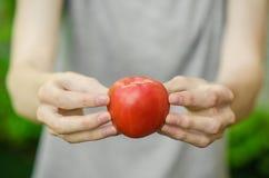 素食主义者和新鲜的水果和蔬菜在题材的本质:拿着在绿色gras背景的人的手一个蕃茄  库存图片