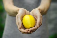 素食主义者和新鲜的水果和蔬菜在题材的本质:拿着在绿草背景的人的手一个柠檬  免版税库存图片