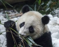 饥饿熊猫吃 免版税库存照片