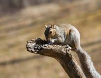 饥饿的上树灰鼠 库存图片