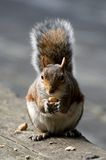 饥饿的伦敦灰鼠 免版税库存照片