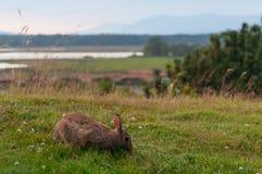 饥饿的兔子 免版税库存照片