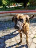 饥饿的可怜的街道狗 免版税库存照片