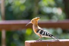 饥饿的啄木鸟在新加坡飞禽公园 免版税库存图片