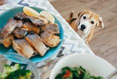 饥饿的小猎犬在与供应的膳食的饭桌上看 库存照片