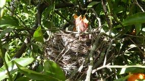 饥饿的幼鸟 免版税库存图片