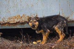 饥饿的无家可归的小狗热切地吃面包 免版税库存图片