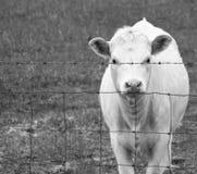 饥饿的母牛在晚上 免版税库存图片