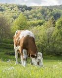 饥饿的母牛 库存照片