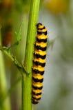 饥饿的毛虫蠕动的stripey crawley 免版税库存图片