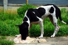饥饿的流浪狗吃一些给的米食物 免版税库存照片