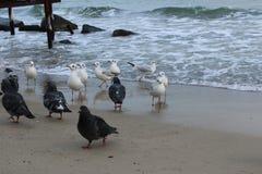 饥饿的海鸥等待从人的面包 库存图片