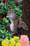 饥饿的灰色灰鼠 免版税库存照片