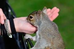 饥饿的灰色灰鼠 免版税库存图片