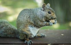 饥饿的灰鼠在公园吃一个花生 库存图片