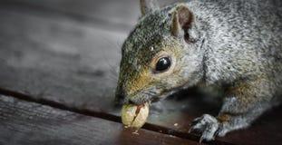 饥饿的灰鼠设法撞出一个陷进的花生 免版税库存图片
