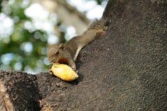 饥饿的灰鼠 图库摄影
