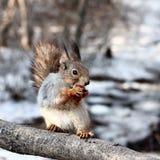 饥饿的灰鼠 免版税库存照片