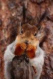 饥饿的灰鼠 免版税图库摄影