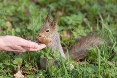 饥饿的灰鼠 库存照片