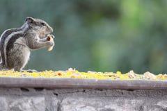 饥饿的灰鼠 免版税库存图片