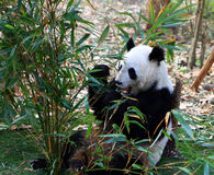 饥饿的熊猫 免版税库存图片