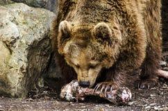 饥饿的熊 免版税库存照片