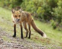 饥饿的狐狸 免版税图库摄影