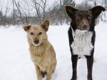 饥饿的狗夫妇  库存图片