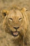 饥饿的狮子 免版税库存照片