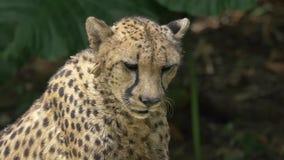 饥饿的猎豹等待的食物-慢动作中景 股票录像