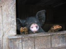 饥饿的猪 免版税图库摄影