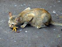 饥饿的猫在孟买印度 免版税图库摄影