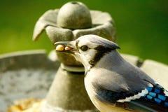 饥饿的矮小的蓝色尖嘴鸟 库存图片