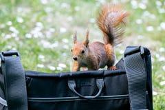 饥饿的红松鼠搜寻在袋子的食物 免版税库存照片