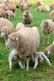 饥饿的羊羔 库存照片