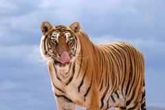 饥饿的老虎 免版税库存图片