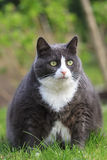 饥饿的肥胖猫 免版税库存照片