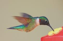 饥饿的蜂鸟 免版税图库摄影