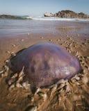 饥饿的蜗牛围拢的水母 免版税库存图片